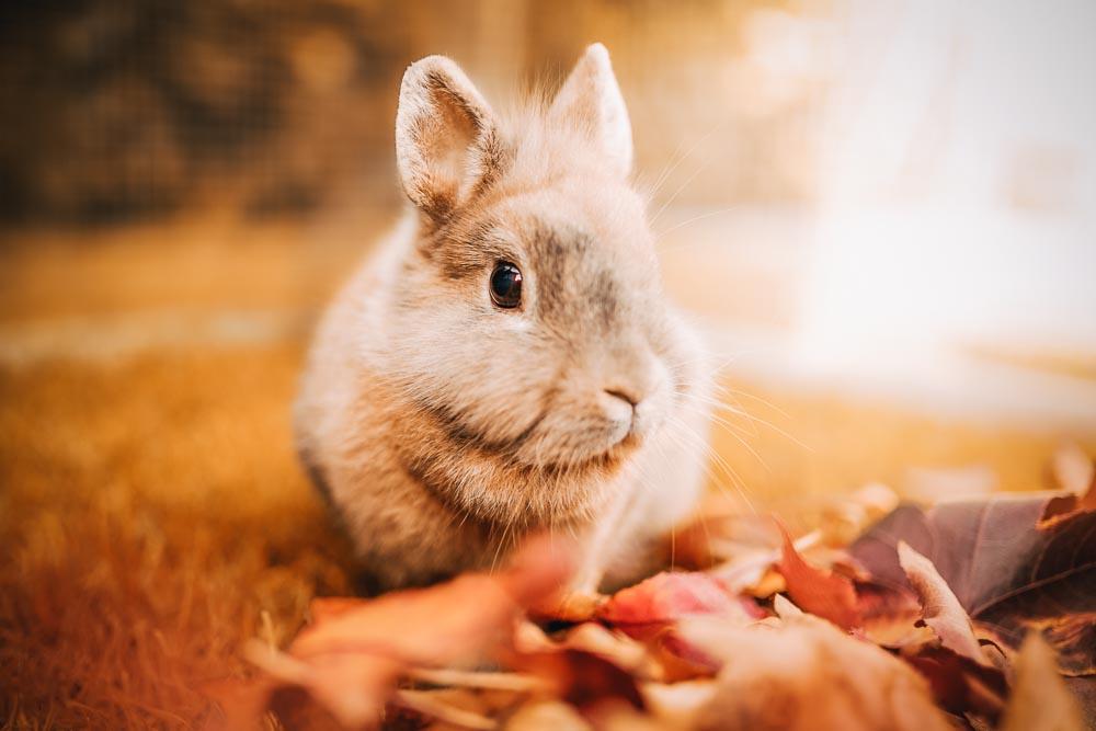 Portrait eines Löwenkopfkaninchens im Herbstlaub - Kaninchen Fotoshooting