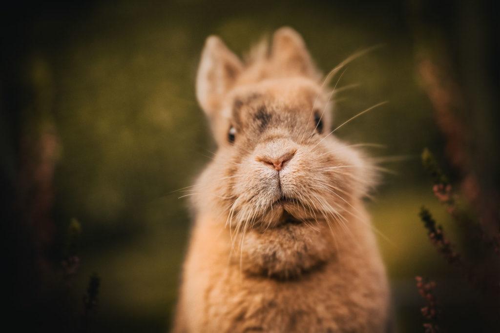 Portrait eines hellbraunem Löwenkopfkaninchens mit Heide - Kaninchen Fotoshooting