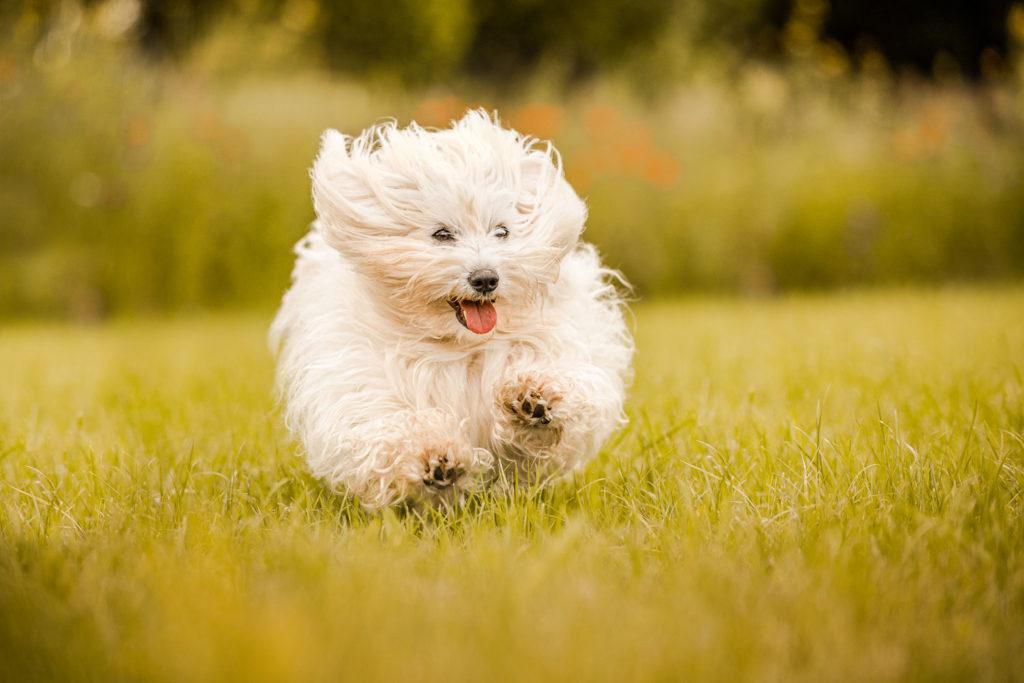 Actionaufnahme eines Coton de Tulear auf einer Wiese - Hunde Fotoshooting
