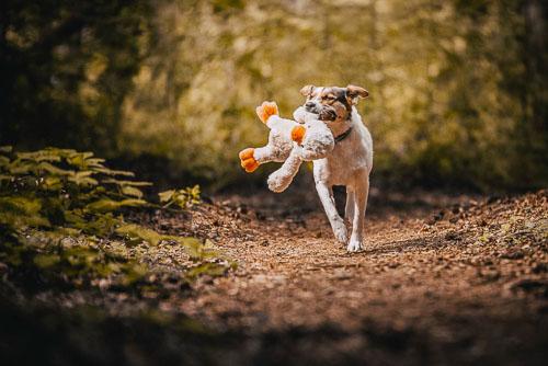 Actionaufnahme einer Mischlingshündin mit Kuscheltier im Wald - Hundefotografie Bremen