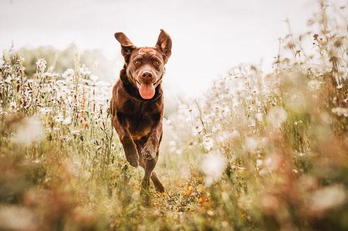 Actionaufnahme einer braunen Labrador Retriever Hündin im Wildblumenfeld - Tierfotografie Bremen
