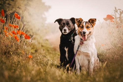 Doppelportrait von zwei Mischlingshunden - vorher-nachher - Hundefotografie Bremen