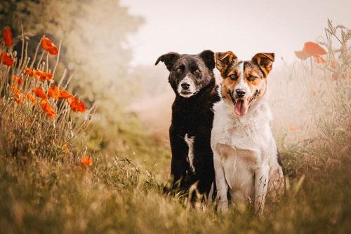 Doppelportrait von zwei Mischlingshunden - Hundefotografie Bremen