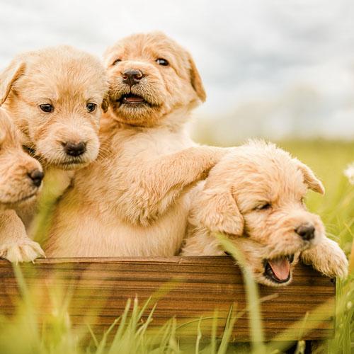 Portrait von vier Labradoodle-Welpen in einer Holzkiste auf grüner Wiese - Hundefotografie Bremen