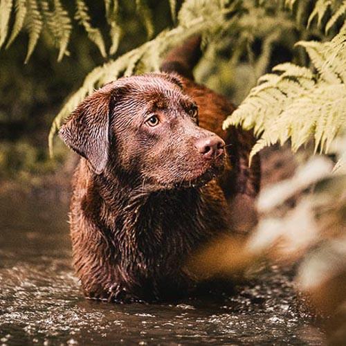 Portrait einer braunen Labrador Retriever Hündin im Wasser - Outdoor Shooting