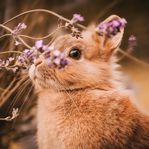 Portrait eines Löwenkopf-Kaninchens mit Lavendelblüten - Outdoor Shooting