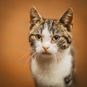 Portrait einer Katze vor orangenem Hintergrund - Tierfotograf Bremen