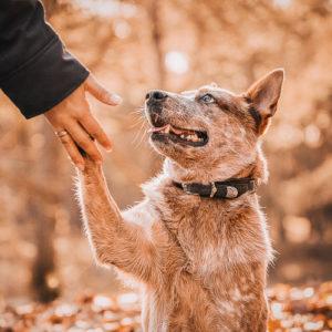 Portrait eines Australian Cattle Dog Rüden im Herbstwald - Gibt seinem Frauchen die Pfote - Fotografin Stuhr