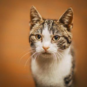 Portrait einer Katze vor orangenem Hintergrund - Tierfotografie Bremen