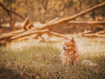 Portrait eines Chihuahua im Wald - Tierfotografin